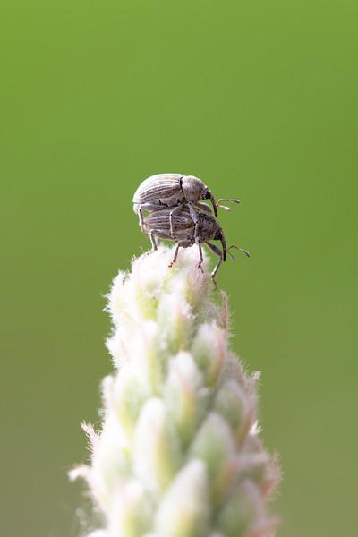 Weevils Mating (Curculionidae)