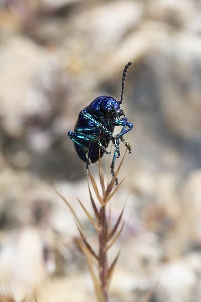 Blue Milkweed Beetle (Chrysochus cobaltinus)