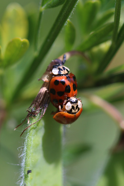 Multi-Colored Asian Lady Beetles Mating (Harmonia axyridis)