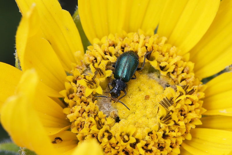 Soft Wing Flower Beetle (Melyridae)
