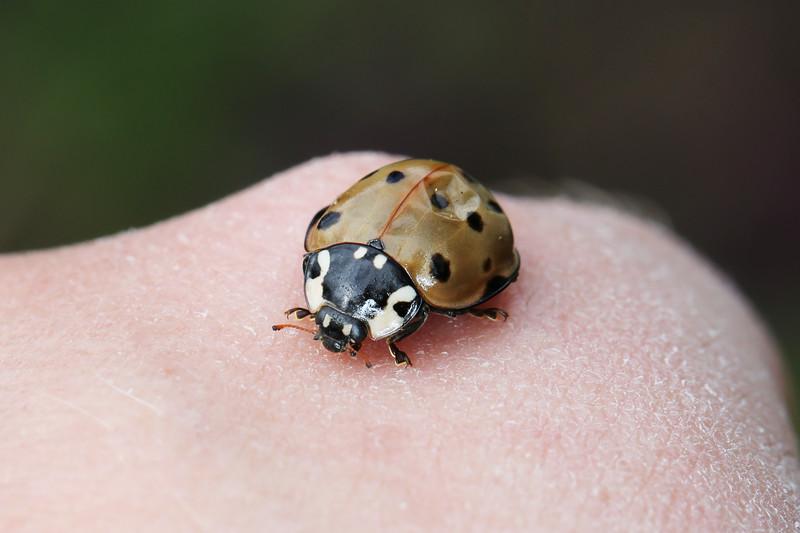 Giant Lady Beetle (Anatis)