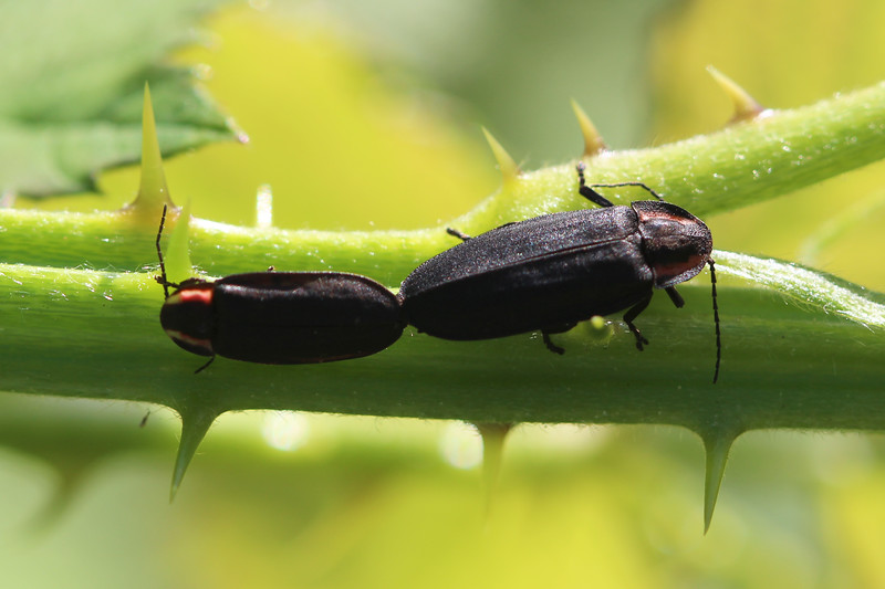 Diurnal Fireflies Mating (Ellychnia)