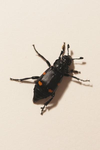 Sexton Beetle (Nicrophorus)