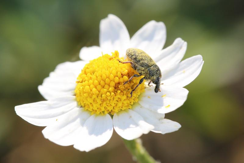 Unidentified Weevil (Curculionidae)