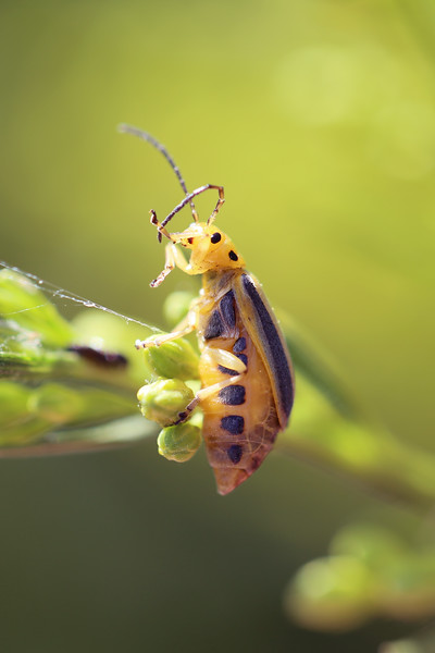 Elm Leaf Beetle (Xanthogaleruca luteola)
