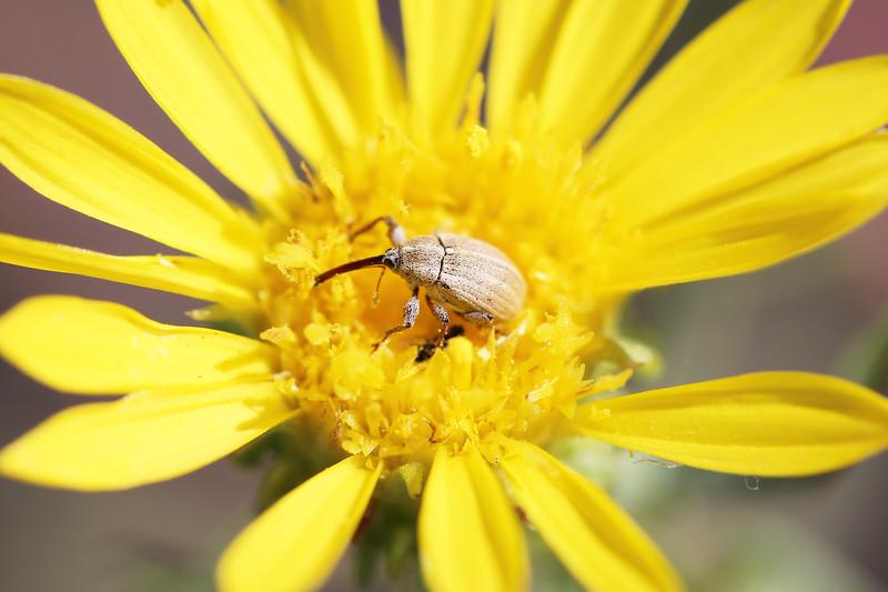 Weevil (Curclionidae)
