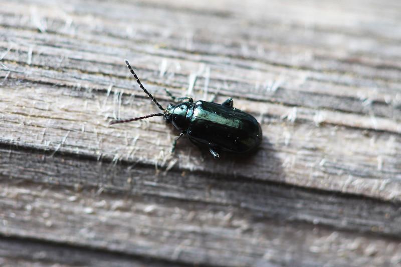 Leaf Beetle (Chrysomelidae)