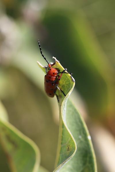 Milkweed Longhorn Beetle (Tetraopes)