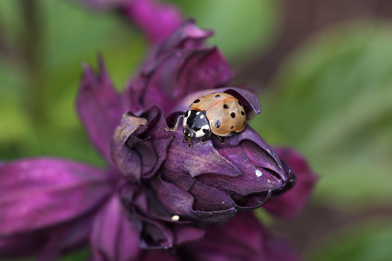 Giant Lady Beetle (Anatis)