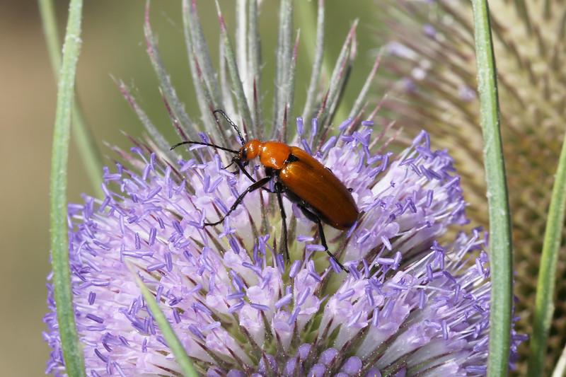 Bilster Beetle (Meloidae)
