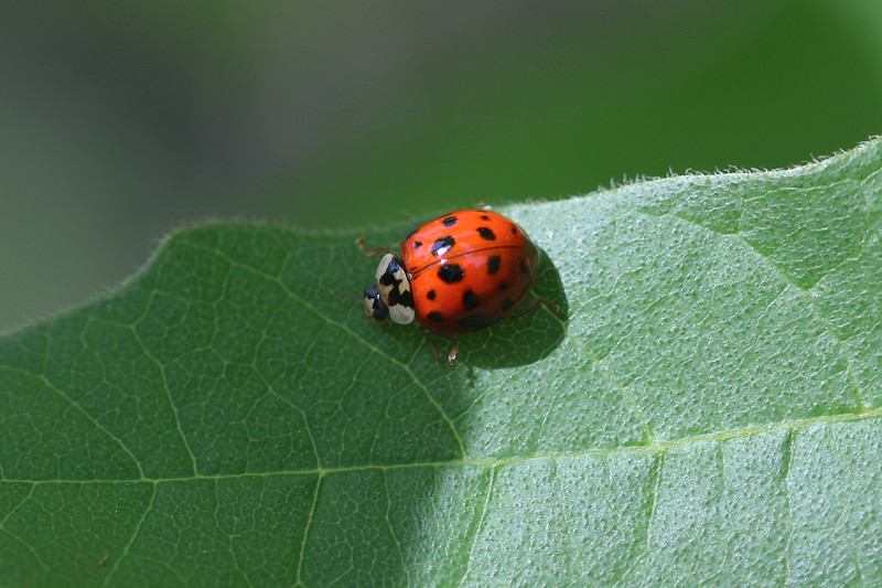 Multi-Colored Asian Lady Beetle (Harmonia axyridis)
