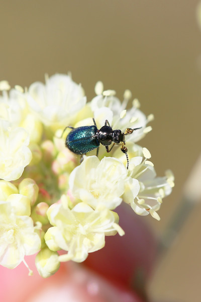Soft-winged Flower Beetle Male (Melyridae)