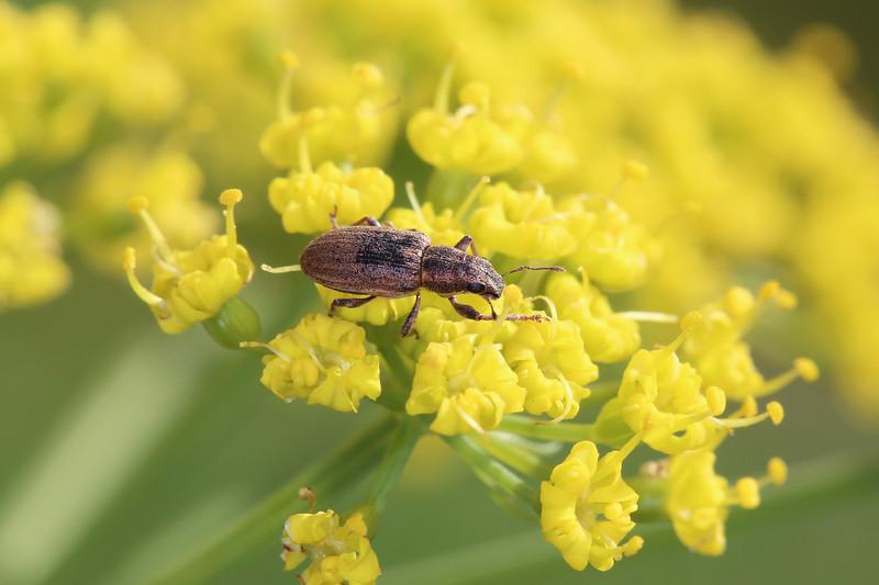 Unidentifed Weevil (Curculionidae)