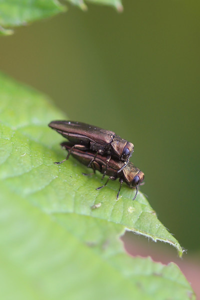 Rose Stem Girdler  (Agrilus cuprescens)