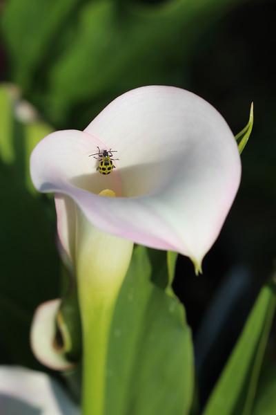 Spotted Cucumber Beetle (Diabrotica undecimpunctata)