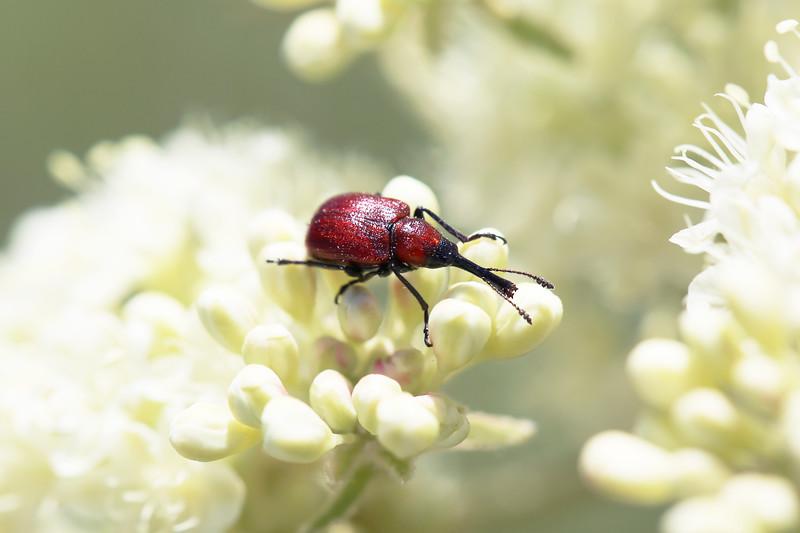 Leaf-Rolling Weevil (Attelabinae)