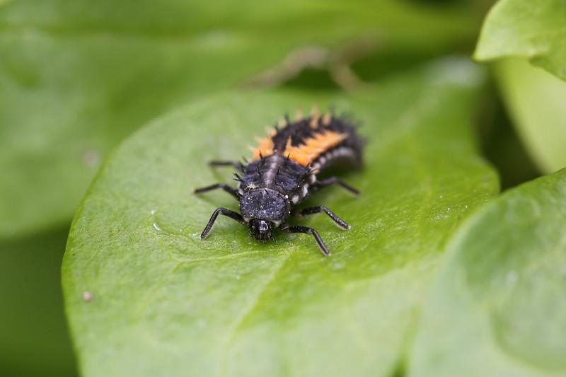 Lady Beetle Larva (Coccinellidae)