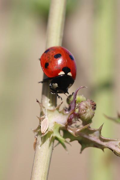 Seven Spot Lady Beetle (Coccinella septempunctata)