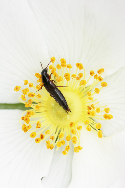 Rove Beetle (Staphylinidae)