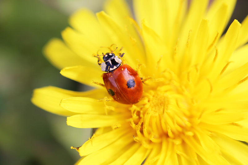 Two-spotted Lady Beetle (Adalia bipunctata)