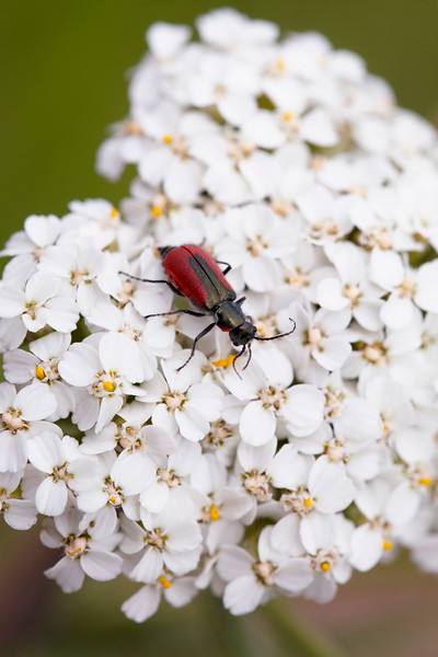 Soft-winged Flower Beetle (Melyridae)