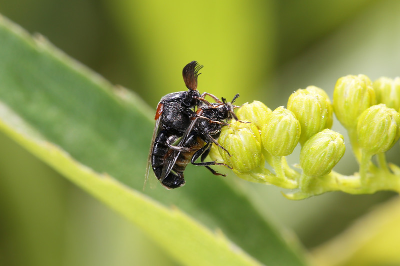 Wedge-shaped Beetle (Ripiphoridae)