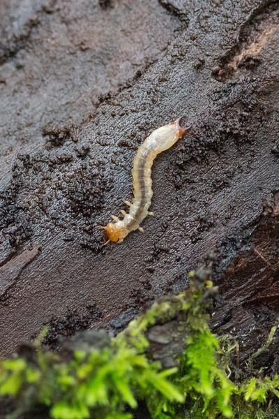 Unidentified Beetle Larva (Coleoptera)