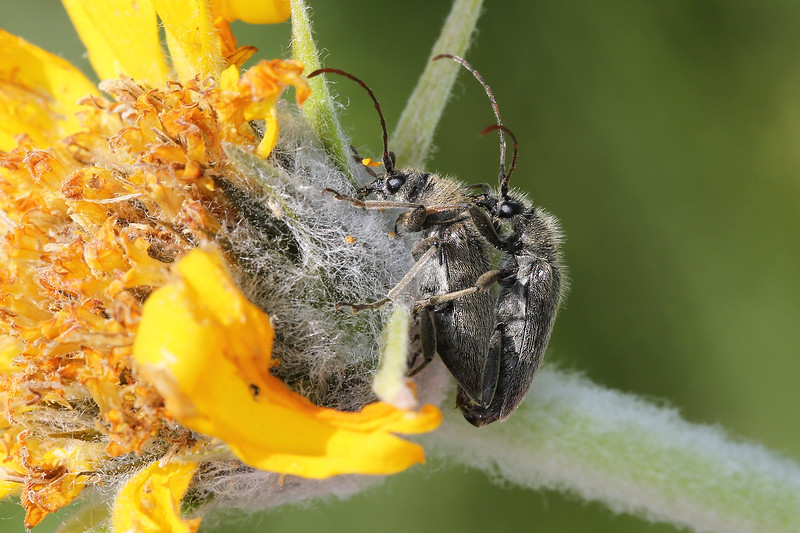 Pair of Flower Longhorn Beetles Mating (Lepturinae)