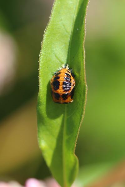 Lady Beetle Pupa (Coccinelidae)