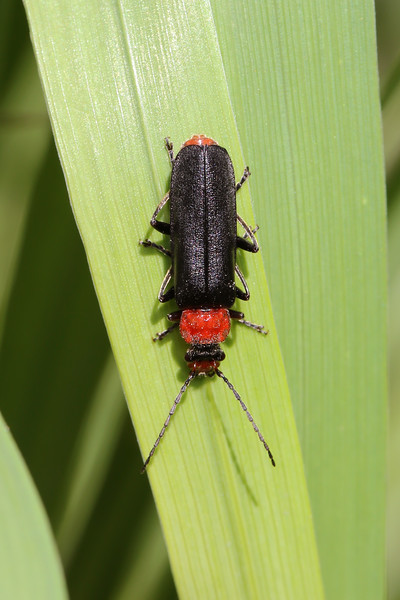 Soldier Beetle (Cantharidae)