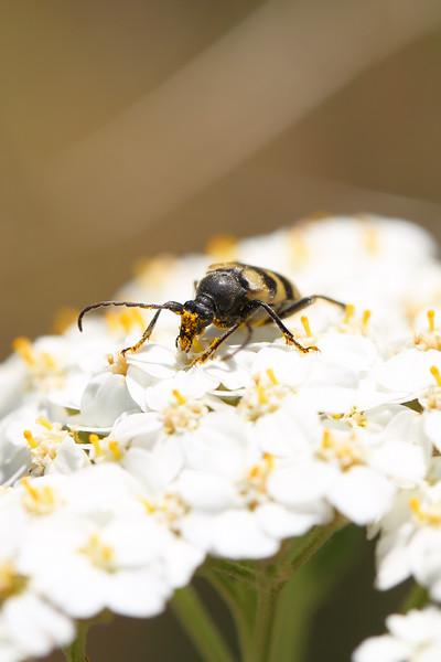 Flower Longhorn Beetle (Judolia instabilis)