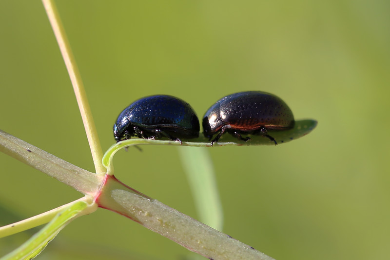 St. Johnswort Beetle (Chrysolina hyperici)