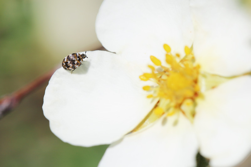 Carpet Beetle (Dermestidae)