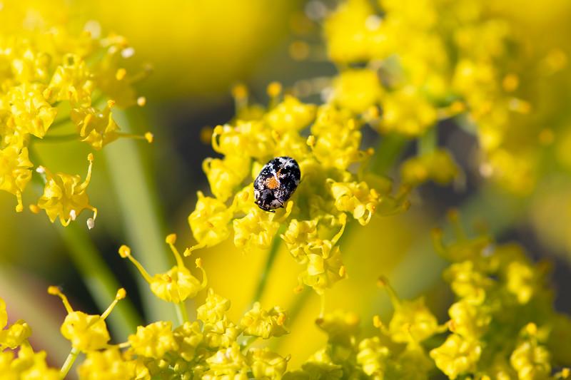 Skin Beetle (Dermestidae)