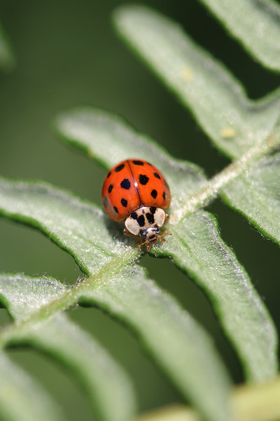 Asian Lady Beetle (Harmonia axyridis)
