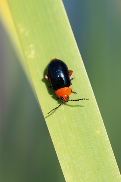 Shiny Flea Beetle (Asphaera lustrans)