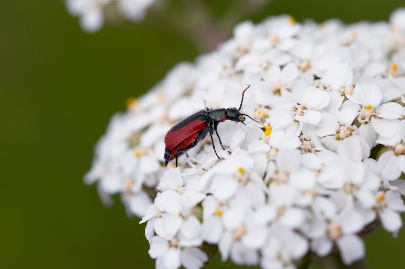 Soft-winged Flower Beetle (Melyridae)
