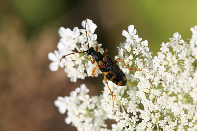 Flower Longhorn (Xestoleptura crassipes)