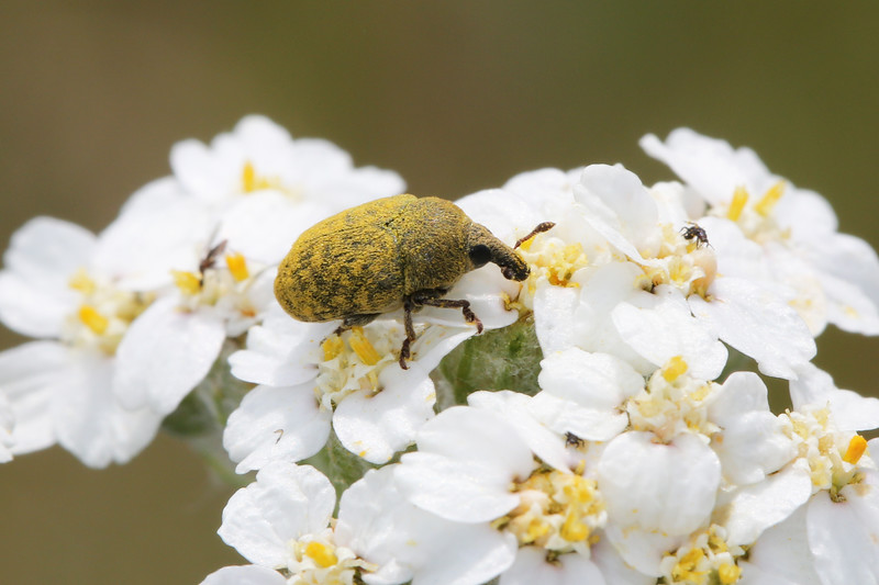 Unidentified Weevil (Curculionidae)