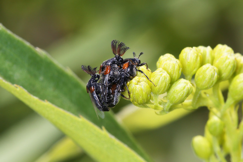Wedge-shaped Beetle (Ripiphoridae)