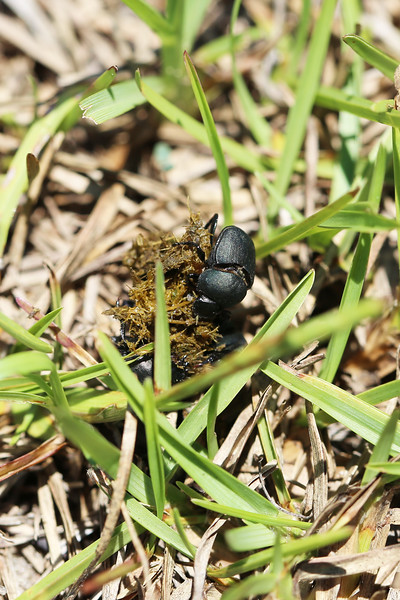 Dung Beetle (Scarabaeidae)