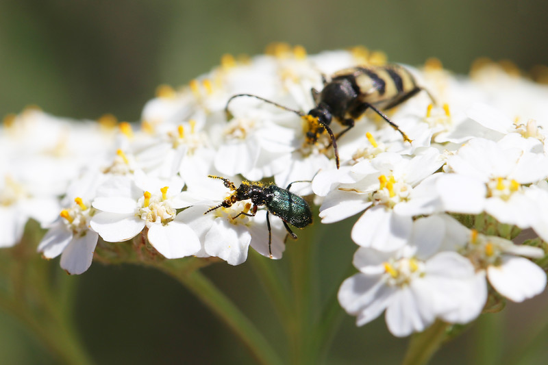 Flower Longhorn Beetle (Judolia instabilis) and Soft-winged Flower Beetle Male (Melyridae)