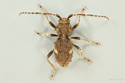 Athemistus sp. (Cerambycidae