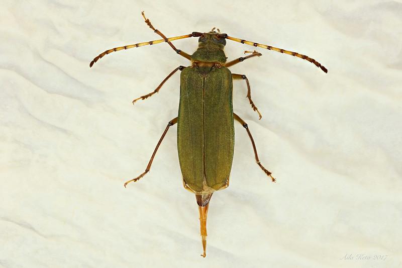 Rhipidocerus australasiae Westwood, 1842  (Cerambycidae)