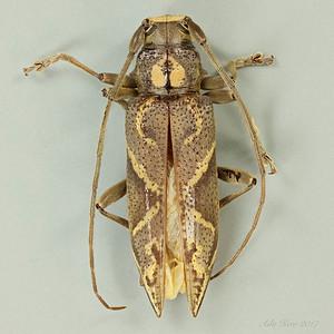 Temnosternus sp. (Cerambycidae)