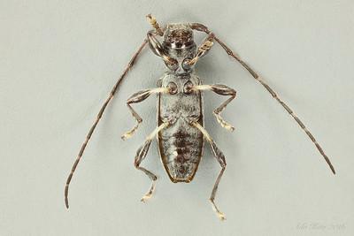 Lamiinae sp. (Cerambycidae).