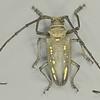 Batocera boisduvali Hope. 1839 (Cerambycidae)