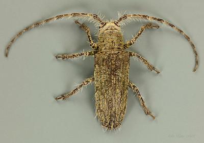 Rhytiphora nodosa Newman, 1842 (Cerambycidae)