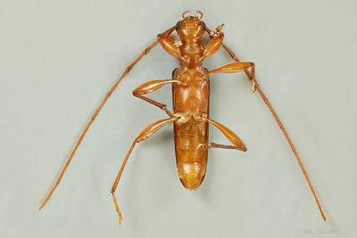 Notoceresium elongatum McKeown. 1942 (Cerambycidae)