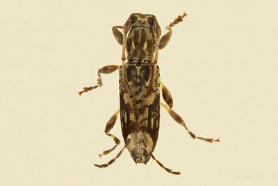 Lamiinae sp. (Cerambycidae